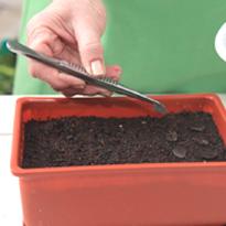 Гиппеаструм как сажать семена 11