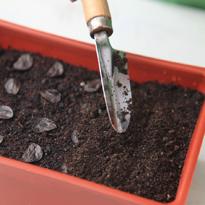 Гиппеаструм как сажать семена 3